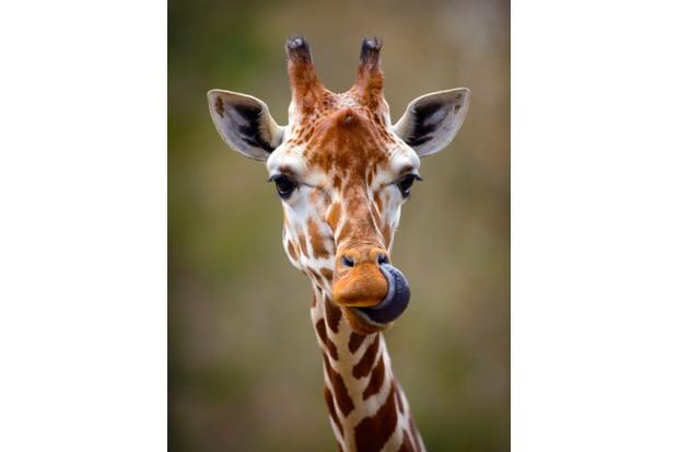 Giraffe Tongue Out Portrait