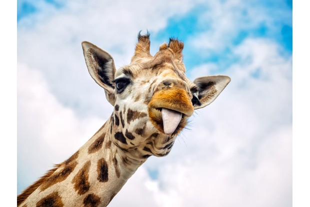 Funny giraffe sticking out its tongue