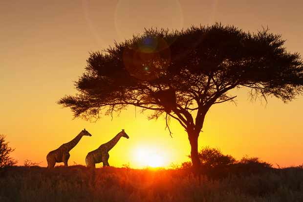 Giraffes under a tree, silhouetted against the sunset in Etosha National Park, Namibia