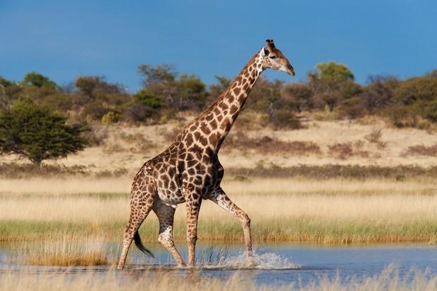 Giraffe (Giraffa camelopardalis), wading through seasonal water on pan, Etosha National Park, Namibia, Africa