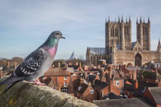 Feral pigeon in front of Lincoln Cathedral