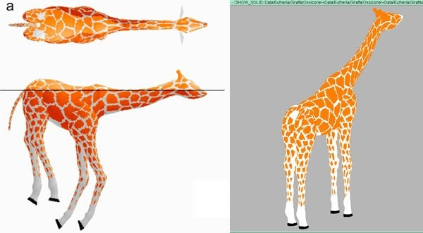 Modelling a giraffe to see if it can swim or even float