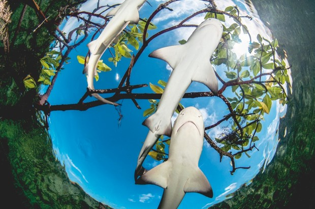 Seen from below, the white bellies of lemon sharks help them to disappear in bright sunlight - the blue sky in this photo is misleading. From above, their yellow-tinted skin belnds in perfectly with the mangrove's sandy seabed © Shane Gross