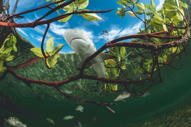 There's still a lot to learn from lemon sharks © Shane Gross