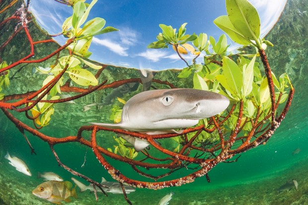 Mangroves provide plenty of shelter for young lemon sharks. Their slow growth means they spend their first years of life as potential prey for a multitude of other species © Shane Gross