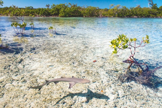 Mangrove shallows are ideal spots for young lemon sharks to learn to hunt © Shane Gross