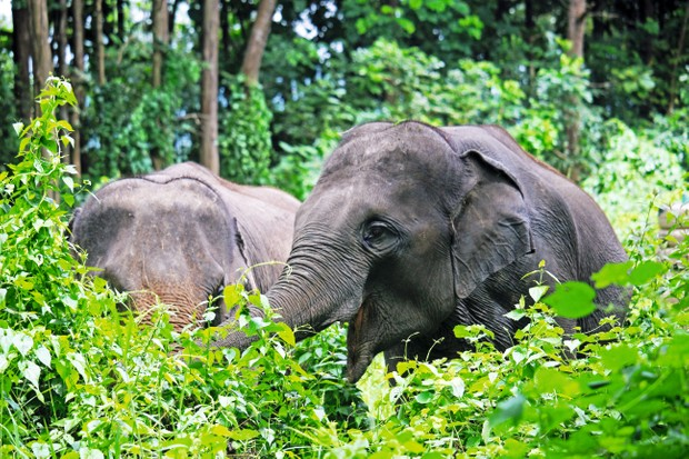 Ex-captive elephants in Thailand are being given a new start. © Elephant Valley