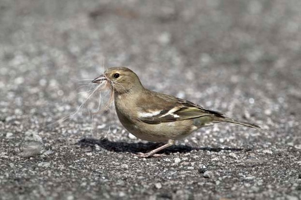 Chaffinch - Fringilla coelebs - Collecting nesting material