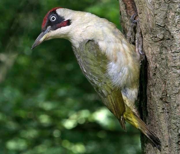Male green woodpecker © John Harding/BTO