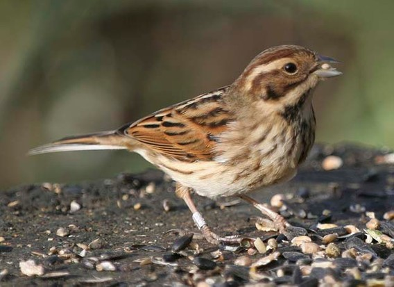 7 Reed Bunting Facts You Need To Know Discover Wildlife