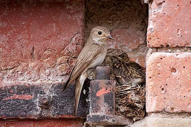 Spotted flycatchers © John Harding/BTO