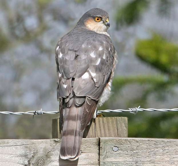 Male sparrowhawk © Jill Pakenham/BTO