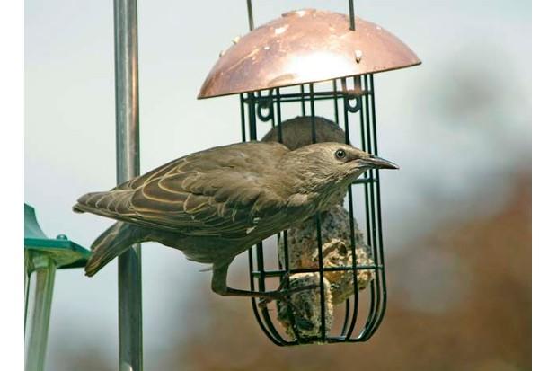 Starling - Sturnus vulgaris - Juvenile