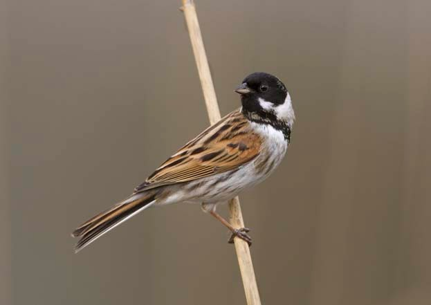 Male reed bunting © Liz Cutting/BTO