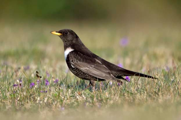 Ring Ouzel - Turdus torquatus - male