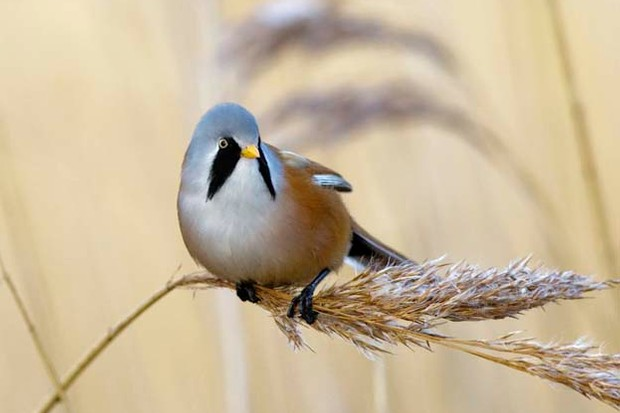 7 Bearded Tit Facts You Need To Know Discover Wildlife