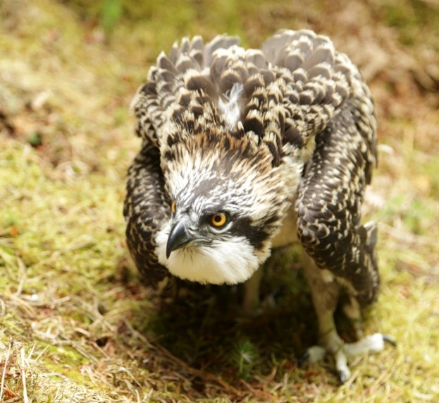 One of the osprey chicks© Tweed Valley Osprey Project