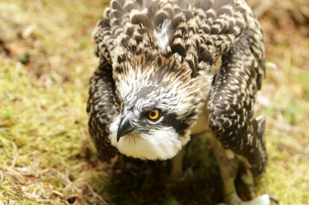 One of the osprey chicks © Tweed Valley Osprey Project