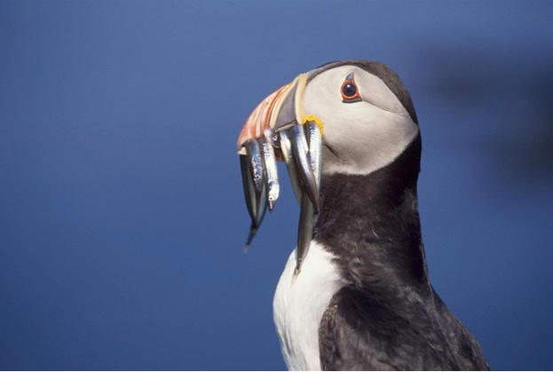 The puffin has joined the growing list of seabirds added to the Red List after a worldwide population decline.