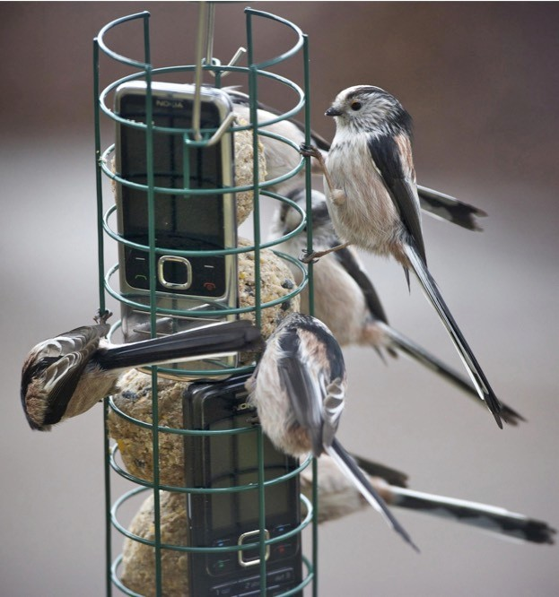 Long-tailed tits are most usually noticed in small flocks. © Tony Marsh - RSPB