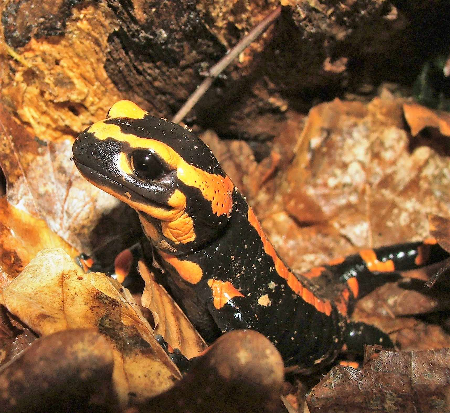 Fire salamanders in one monitored population have declined by 99 per cent due to the Bsal infection © B. Tapley / ZSL