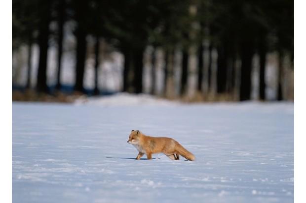 Red fox subspecies in Hokkaido © Aso Fujita / amanaiimagesRF / Getty