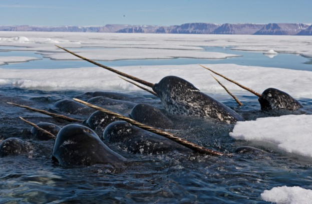 Aerials of narwhal in a place where there is no hunting. The whales are pushing under the ice to feed on cod.  They come up in seal holes and rotten ice in order to catch a breath.