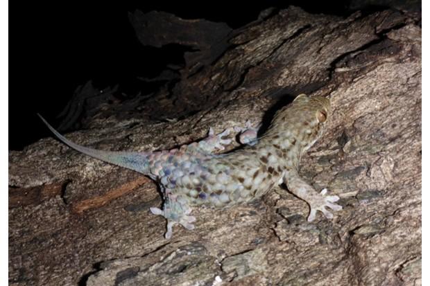 2Gecko623-3ac92b5