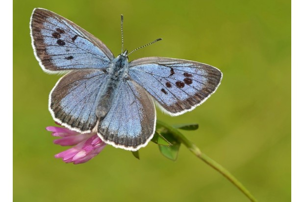 3.20Large20Blue_Pete20Withers2C20Butterfly20Conservation20623-9588768