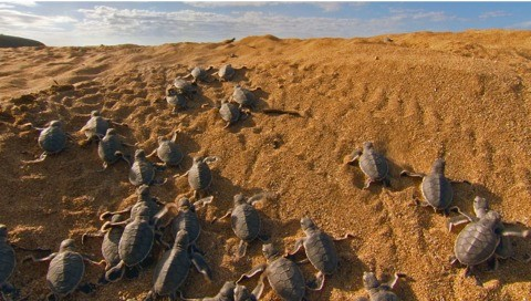 480_Green20turtle20hatchlings20stream20towards20the20shore20driven20by20their20instinctive20urge20to20reach20the20open-ocean2C20in20the20Comoros.20C2A920BBC20NHU-28f5316