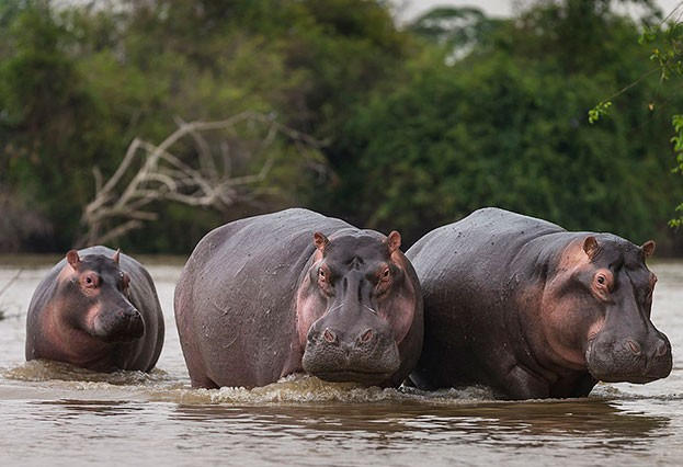 Hippo calves are not weened for about six months. © Brent Stirton/Staff/Getty
