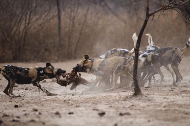 623_AfricanWildDog_Zimbabwe_YvesForestier-7e18c91