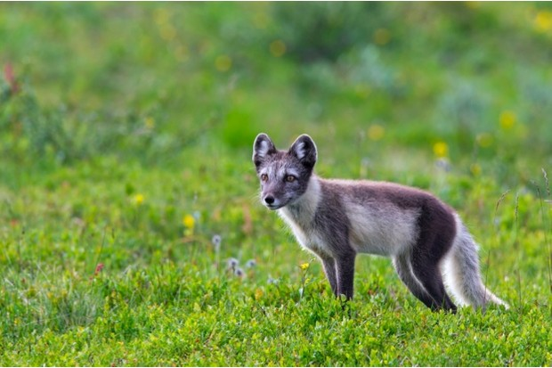 Arctic fox (Vulpes lagopus / Alopex lagopus) on the tundra in summer , Lapland, Sweden