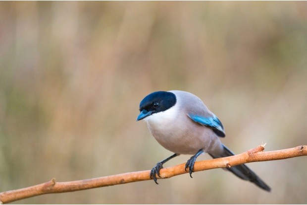Azure-winged Magpie  or Cyanopica cyanus with copy space for text