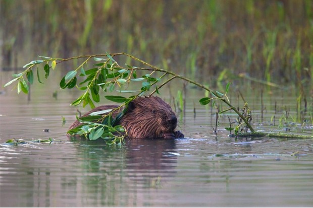 Eurasian beaver / European beaver (Castor fiber) in pond nibbling on willow leaves
