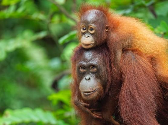Bornean Orangutan female 'Lady Di' carrying her son 'La Betty' aged 3 years  (Pongo pygmaeus wurmbii). Camp Rasak, Lamandau Nature Reserve, Central Kalimantan, Borneo, Indonesia. Jul 2010. Rehabilitated and released (or descended from) since 1998.