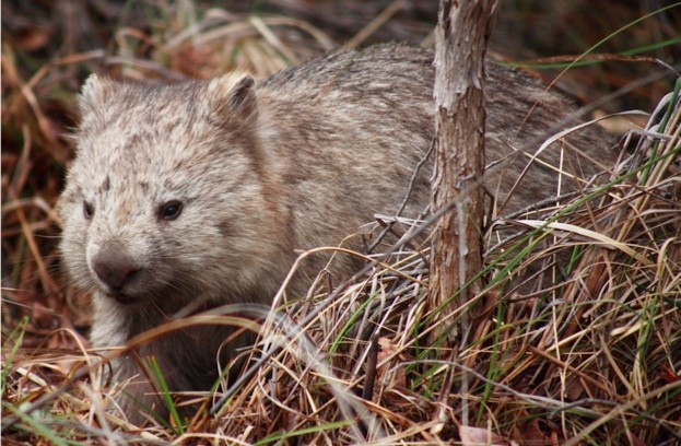 AUSTRALIA, Tasmania, Maria Island National Park Common wombat YEAR: 2007 No model or property releases