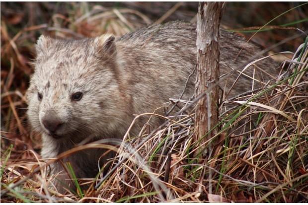 AUSTRALIA, Tasmania, Maria Island National Park Common wombat YEAR: 2007 No model or property releases