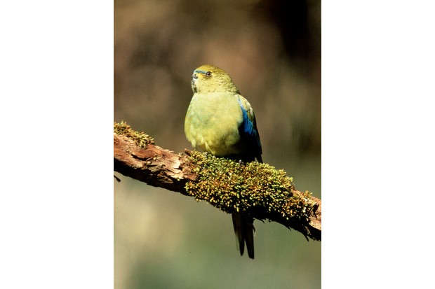 The rare and endangered Orange-Bellied Parrot ( Neophema chrysogaster ) Migrates across Bass Strait between Tasmania and Southeast Australia.