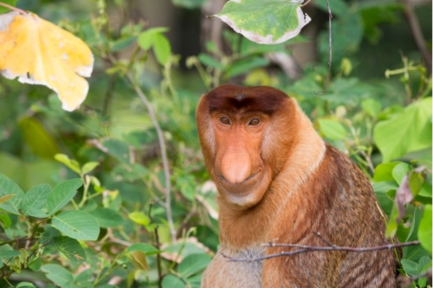 Asie,Bornéo,Malaisie,Sarawak,Parc national de Bako,Nasique de Bornéo // Asia,Borneo,Malaysia,Sarawak,Bako National Parkproboscis monkey or long-nosed monkey (Nasalis larvatus)