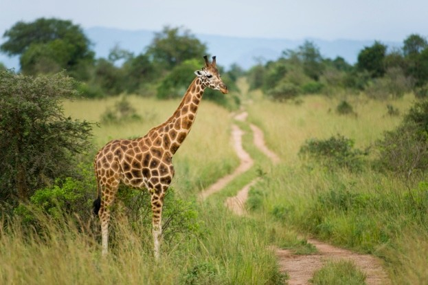 Rothschild's giraffe (Giraffa camelopardus rothschildi), Murchison Falls National Park, Uganda