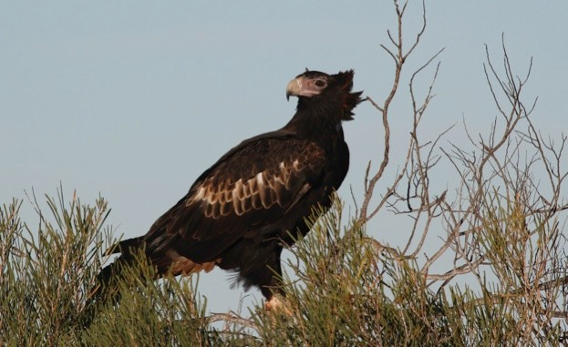 Wedge-tailed eagle (Aquila audax), Australias largeset bird of prey, 105 cm long, wingspan to 230 cm. Peron Peninsula, Western Australia