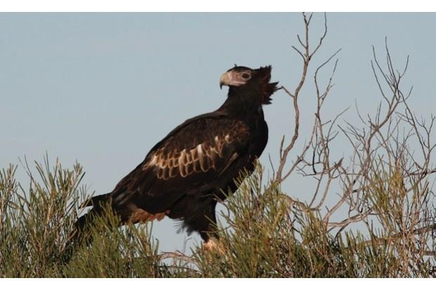 Wedge-tailed eagle (Aquila audax), Australias largeset bird of prey, 105 cm long, wingspan to 230 cm. Peron Peninsula, Western Australia