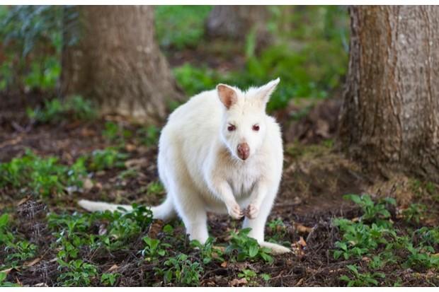 White albino wallaby, Bruny Island, Tasmania, Australia