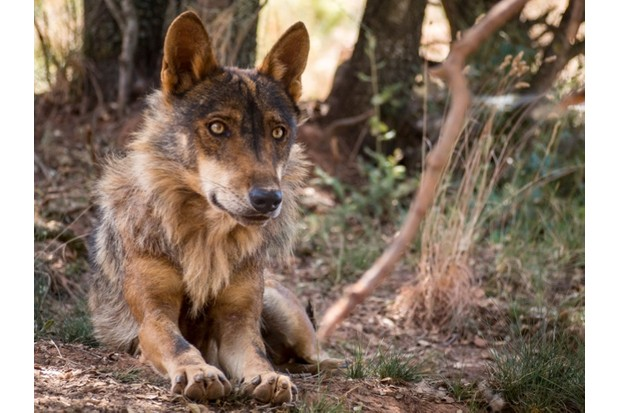 Iberian wolf lying down in the forest
