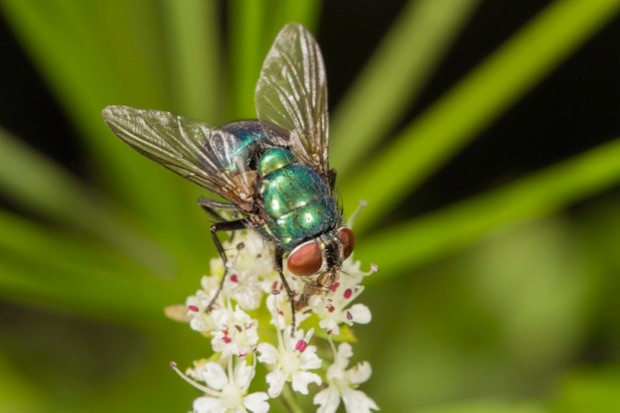 Green bottle fly (Lucilia sp.), feeding on a flower