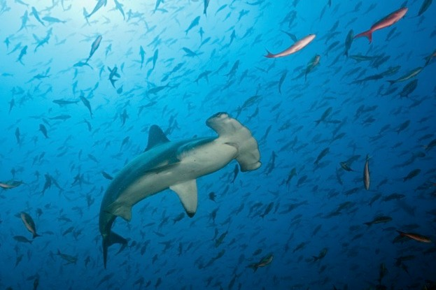 Bogenstirn-Hammerhai, Sphyrna lewini, Arch, Darwin Island, Galapagos, Ecuador | Scalloped Hammerhead Shark, Sphyrna lewini, Arch, Darwin Island, Galapagos, Ecuador The hammerhead's unusually shaped head may help it detect its prey from the electrical signals it gives off © Ullstein Bild / Getty