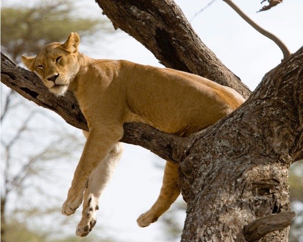 Lioness sleeping in tree, Panthera leo. Ndutu Conservation Area, Tanzania