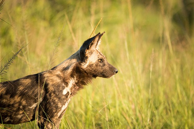 The African wild dog is listed as Endangered on the IUCN Red List. © Simoneemanphotography/iStock