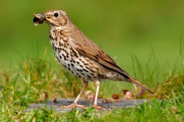 Close-up of a Song thrush (Turdus philomelos) with snail shell near St. Marys in the Isles of Scilly, a common bird in gardens, farms and woodland throughout Britain